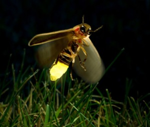 Glowing-firefly-light emitting bug