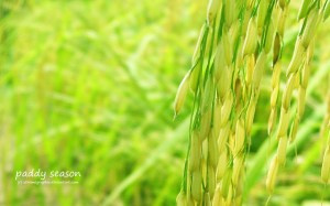 paddy_fields_by_xtremegraphix