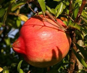 711px-Pomegranate_fruit