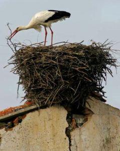 stork-nest-building