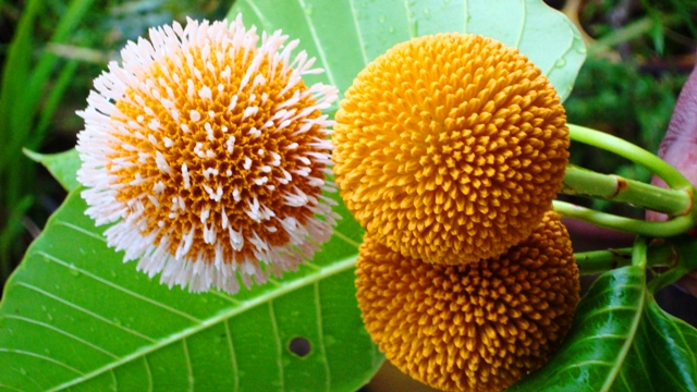 Kadamba Flower San