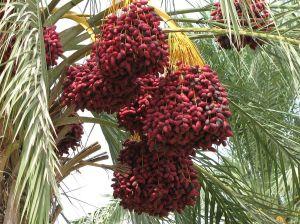 Date_palm
