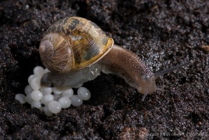 Garden Snail Laying Eggs