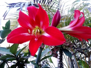 Beautiful Red Amaryllis Flower
