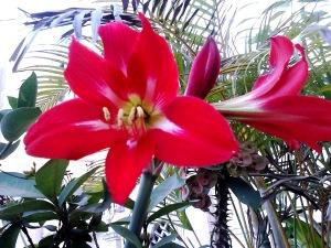 Beautiful Red Amaryllis Flower