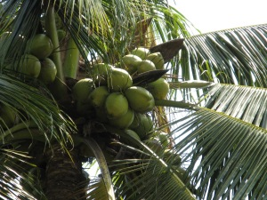 Coconut_green