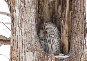 yawning-owl-in-the-tree-hole