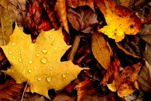 Dew-on-autumn-leaves