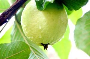 single guava