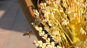 honey-bees-on-palm-flowers