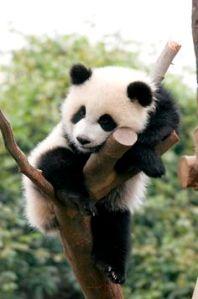 sleeping panda - panda on tree