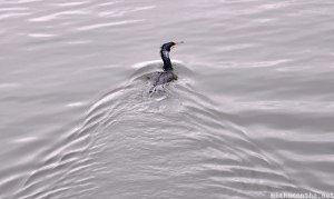 bird-swimming-in-water-thekkady-periyar-lake-kerala
