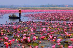 pink lotus - pink pond