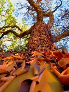 Arbutus menziesii - madrone tree bark peeling