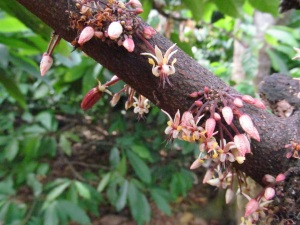 cacao-flowers