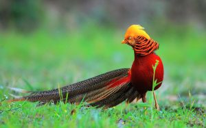 Golden Pheasant Bird On The Ground - Chinese pheasant