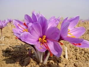 Saffron Home - saffron flower