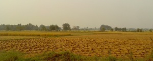 Bundle of paddy crop
