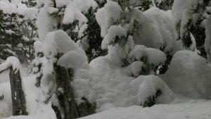 heavy snow fall in forest - forest in snow fall