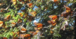Central-America-Monarchs-butterflies