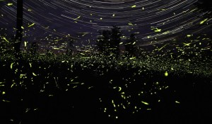 lightning_bugs_star_trails - fireflies