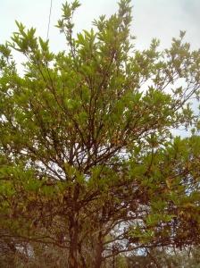 Madhuca longifolia-mahua flower-Tree of Mahua