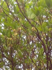 Madhuca longifolia-mahua flower