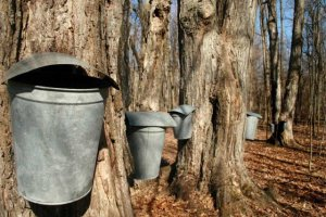 Maple sap - maple Syrup