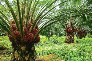 Oil palms plantation- palm oil plant