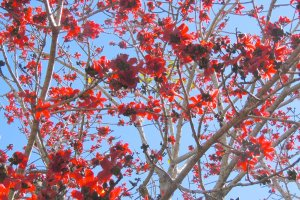 red silk cotton tree