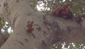 Fig tree - Fig fruit - guler tree