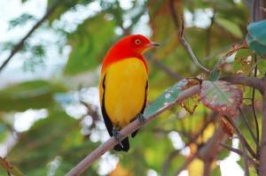 flame-bower-bird