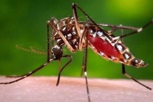 mosquito मच्छर