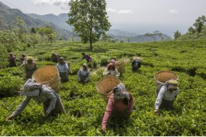 Tea pluckers collect leaves