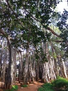 Old banyan tree- Big banyan tree