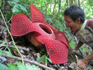 Rafflesia arnoldii - biggest flower on earth