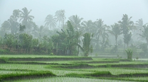 rain in rice field