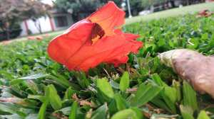 african-tulip-tree-nandi-flame-african-flower
