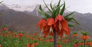 crown-imperial-iranian-flowering-hill-best-place-in-iran