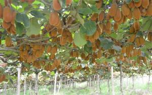 kiwi-fruit-kiwi-plant
