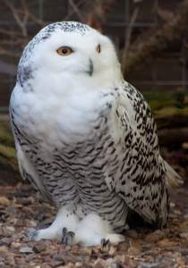 snowy-owl-american-bird