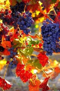grapes-and-autumn
