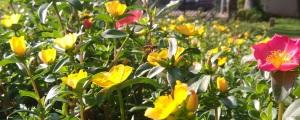 rose-moss-flower