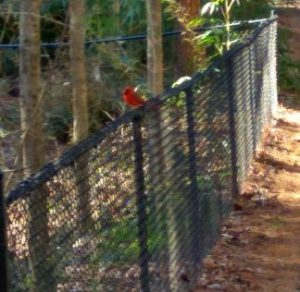 northern cardinal in USA - Bird of USA.jpg
